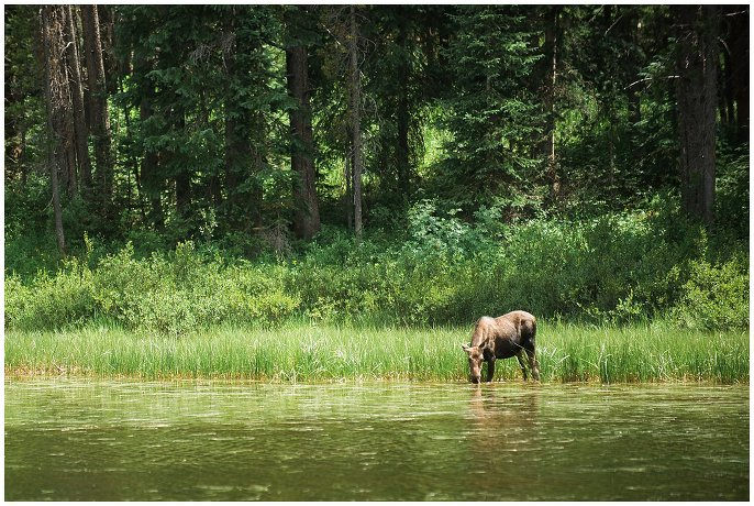 moose at Rocky Mountain Wedding photo